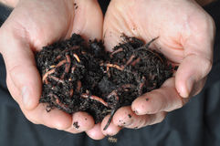 Group of earthworms Stock Photography