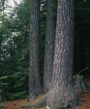 A Group of Eastern White Pine Royalty Free Stock Images