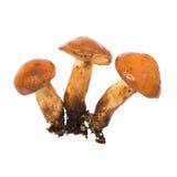 Group of edible mushrooms Suillus Stock Photography
