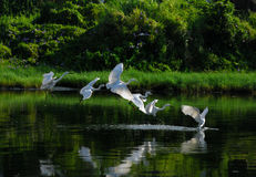 A group of egrets. Playing in the water Stock Image