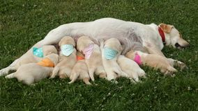 Group of eight newborn labrador retriever puppy sucking milk from stock video