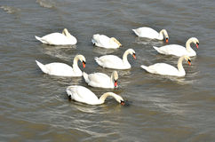 Group of swans Stock Image
