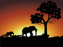 Group of elephant in africa. At sunset Stock Photography