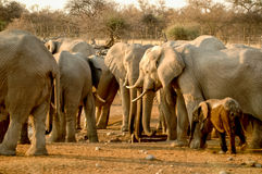 Group of Elephant Stock Photography