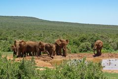 Group of elephant near watering-place in savanna Stock Photo