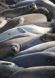 Group of Elephant Seals Royalty Free Stock Image