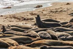 Group of elephant seals. Mirounga angustrinostris, resting and sunbathing on a sand beach at Point Lobos, California Royalty Free Stock Photography