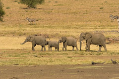Group of elephants Stock Photography