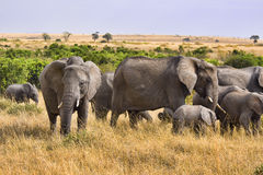 Group of elephants. Standing in the wild bush of Africa Stock Images