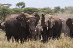 Group of Elephants Royalty Free Stock Images