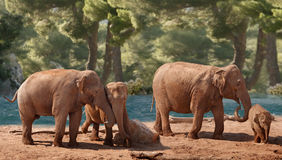 A Group of Elephants. Four Asian Elephants of differing ages wander down by the river Royalty Free Stock Image