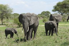 Group of Elephants in Africa Royalty Free Stock Photos