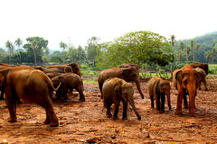 Group of Elephants. With baby Elephants Royalty Free Stock Image