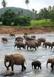 Group elephants bathing. In shallow water Stock Photo