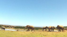Group of elephants bathing in a puddle of water, Addo Elephant National Park, South Africa stock footage