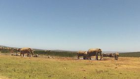 Group of elephants bathing in a puddle of water, Addo Elephant National Park, South Africa stock video footage
