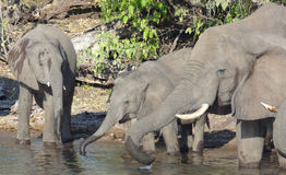 Group of Elephants in Botswana Royalty Free Stock Photos