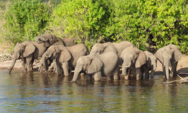 Group of Elephants in Botswana Stock Photos