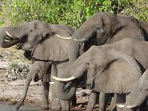 Group of Elephants in Botswana Stock Images