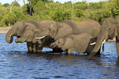 A group of elephants Royalty Free Stock Photography