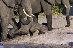 A group of elephants Royalty Free Stock Photos