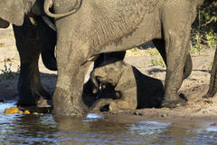 A group of elephants Stock Photo