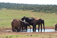 Group of elephants drinking Stock Photos