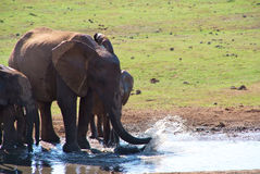 Group of elephants drinking and playing Royalty Free Stock Image