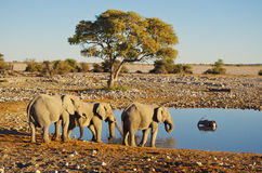 Group of elephants drinking Royalty Free Stock Photos