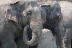 Group of elephants eating vegetables Royalty Free Stock Photos