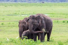 An elephant family with a young baby, eating grass royalty free stock image