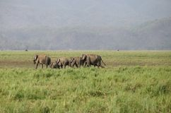 A group of elephants in the grassland Royalty Free Stock Images