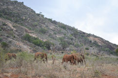 Group of elephants , Kenya. Group of elephants in the savana, Africa, Kenya Royalty Free Stock Photography