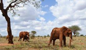 Group of elephants, Kenya. Elephants in the wild nature of Africa, Kenya Stock Photos