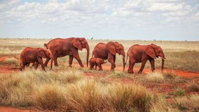 Group of elephants Loxodonta africana, red from dust, walking royalty free stock photography