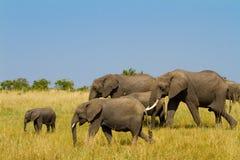A group of elephants at Masai Mara Stock Image