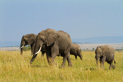 A group of elephants at Masai Mara Royalty Free Stock Images