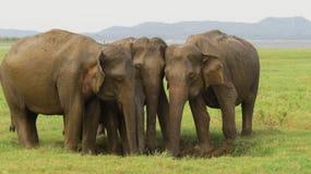A group of elephants in Minneriya national park stock photos