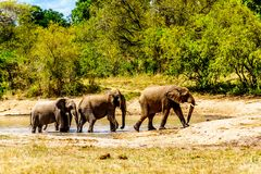 Group of Elephants at Olifantdrinkgat, a watering hole near Skukuza Rest Camp, in Kruger National Park Royalty Free Stock Photo