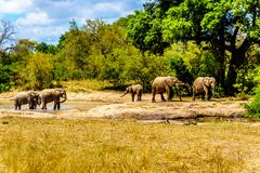 Group of Elephants at Olifantdrinkgat, a watering hole near Skukuza Rest Camp, in Kruger National Park Royalty Free Stock Image