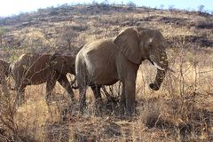 Group of elephants at Pilanesberg National park in South Africa