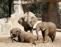 Group of elephants playing in the mud and water. A group of young elephants playing in the mud and water stock images