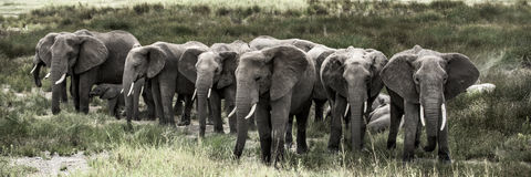 Group of elephants in Serengeti National Park Royalty Free Stock Photography