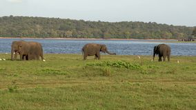 Group of Elephants in Sri Lanka. Group of big Asian elephants at Udawalawe National Park. Sri Lanka wild animals
