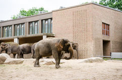 Group of elephants standing in their yard at zoo Stock Photos