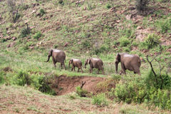 Group of elephants walking along a dry river, South Africa Stock Photos