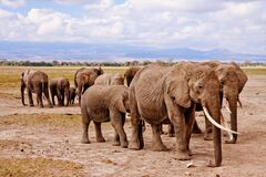 Group of Elephants on Walking on Brown Road during Daytime Royalty Free Stock Images