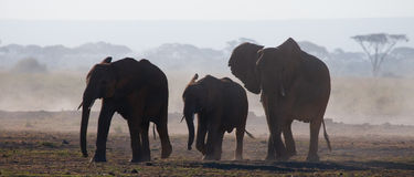 Group of elephants walking on the savannah. Africa. Kenya. Tanzania. Serengeti. Maasai Mara. An excellent illustration Royalty Free Stock Photo