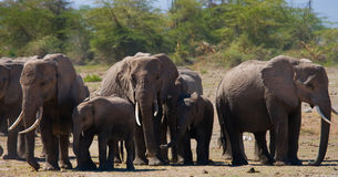 Group of elephants walking on the savannah. Africa. Kenya. Tanzania. Serengeti. Maasai Mara. An excellent illustration Stock Photo