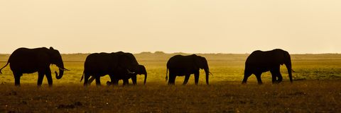 Group of Elephant seens backlit Royalty Free Stock Image